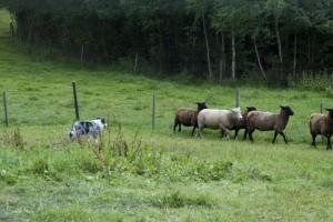 Crazy och fåren